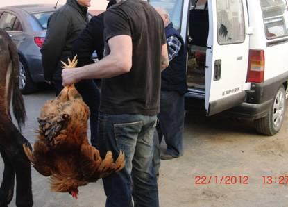Gallos maltratados siendo agarrados por las patas y entregados vivos como premio.
